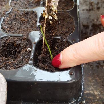 Firming the seedling in after transplant