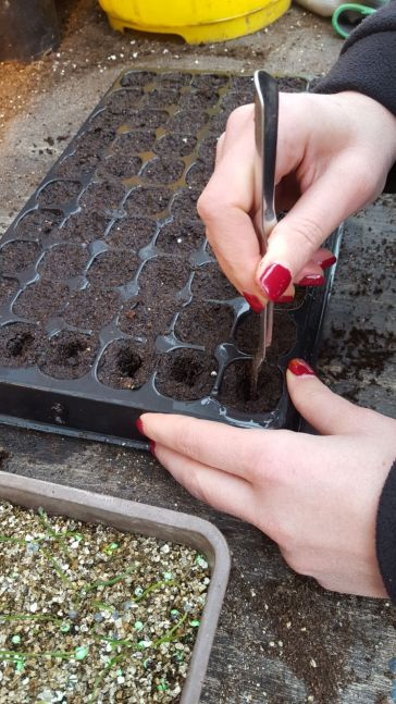 Making a hole with the dibber tool to transfer the seedling in to