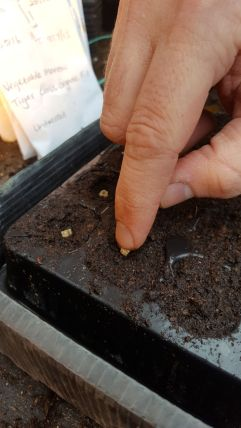 Pressing each seed gently into the cell tray